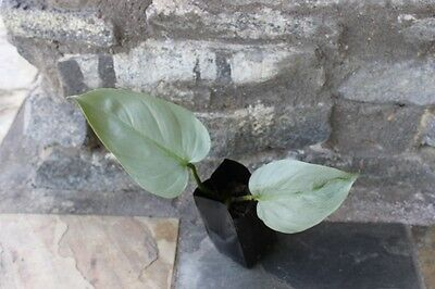 PHILODENDRON  SILVER LEAF CLIMBING AROID ARUM rooted stem cutting