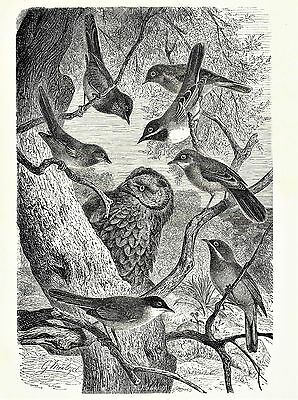 OWL & Song Birdsin Tree Natural History VINTAGE 1898 MATTED Bird Picture