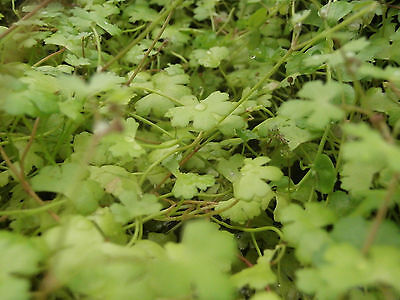 Hydrocotyle tripartita 'Japan' Live Aquascaping Carpet Plants 30+ stems