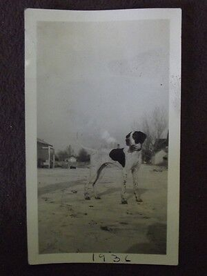 POINTER DOG STANDING IN LIGHTLY SNOW COVERED FIELD Vintage 1936 PHOTO