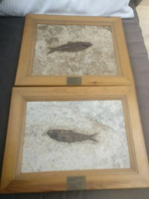 Eocene fossil fish 15cm (two framed)