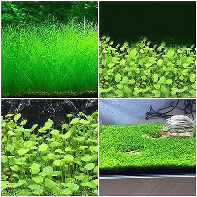 Fish Tank Aquarium Plant Seeds Aquatic Water Grass Garden Foreground Plant  B1