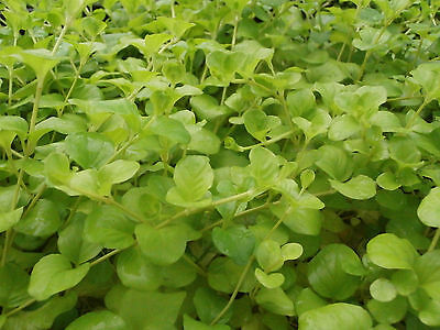 5 x Lysimachia nummularia creeping Jenny Rooted Stems Marginal Water Plant
