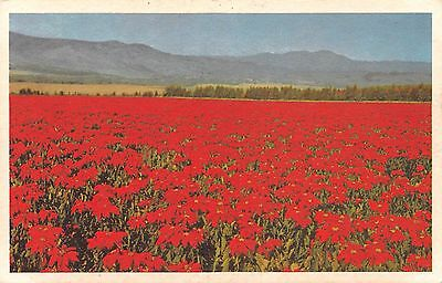 Postcard CA San Onofre Highway 101 200 Acres Poinsettias Red Flowers California