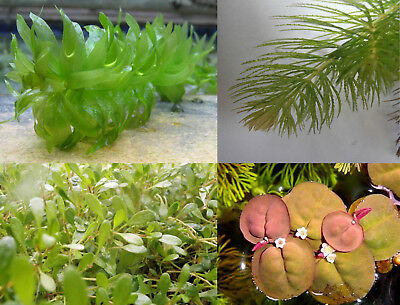 Live Aquarium Plants - Floating Carpet Stem Plants - Buy 3 Get 1 Free !