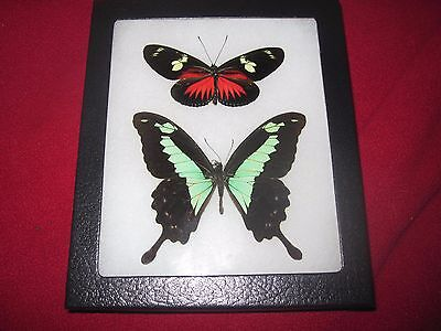 """2 real  butterflies  mounted framed 5x6"""" riker  #awe208 heliconius papilio"""
