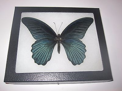 """real black papilio memnon  butterfly mounted framed 5 x 6"""" riker display #awe72"""