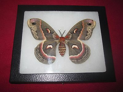 """real  moth/butterfly  mounted framed 5x6"""" riker  #awe224 cecropia moth"""