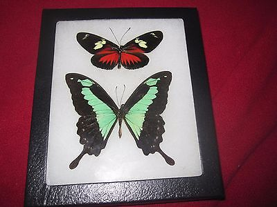 """2 real  butterflies  mounted framed 5x6"""" riker  #awe206 heliconius papilio"""