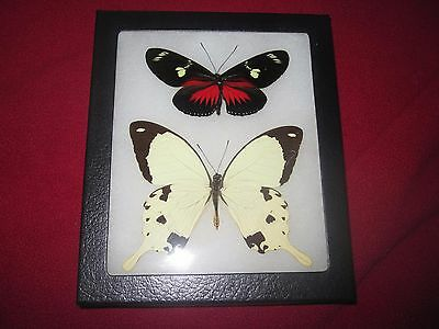 """2 real  butterflies  mounted framed 5x6"""" riker  #awe212 heliconius papilio"""