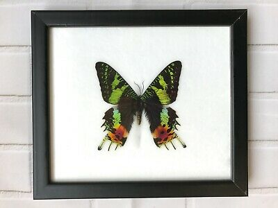 Madagascan Sunset Moth (Chrysiridia Rhipheus) - Insect Butterfly Frame Taxidermy