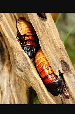 10 x Giant Madagascan Hissing Cockroach Adult +4 For Free