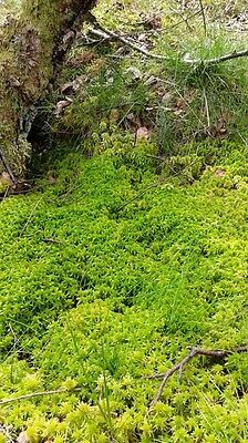 Sphagnum moss 250g - live and freshly harvested from sustainable sources