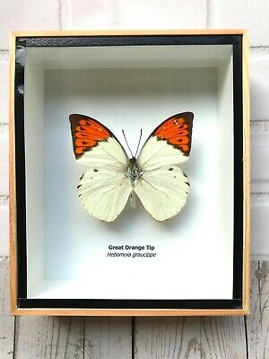 Butterfly In Box Frame - Genuine Specimen Set In Picture Taxidermy Real Insect