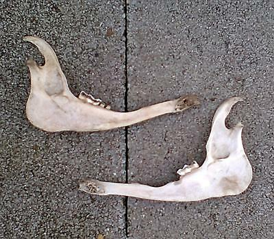 PAIR of ANIMAL JAWBONES ~TEXAS RANCH~ 2 JAW BONES w/TEETH ~CRAFT~COLLECT~DISPLAY