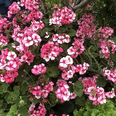 Geranium pink/white flower stem cutting 2x 100mm long with at least 2 buds