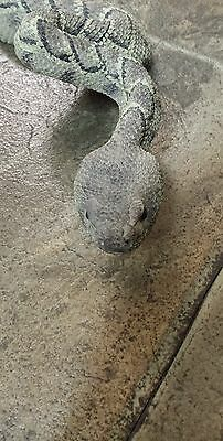 South Dakota rattlesnake figure garden realistic