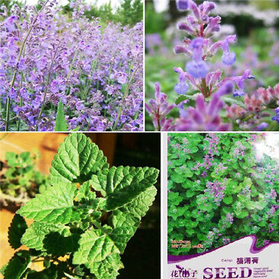 50 Seeds Catnip Seeds Cat mint Nepeta cataria Herbs Organic 1 Pack 50 Seeds t