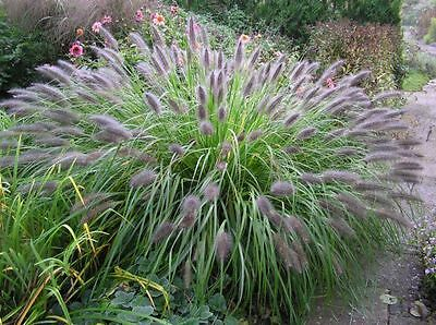 Pennisetum al. viridescens x 1 - Fountain Grass - FREE P/P WHEN YOU BUY 3+ ITEMS