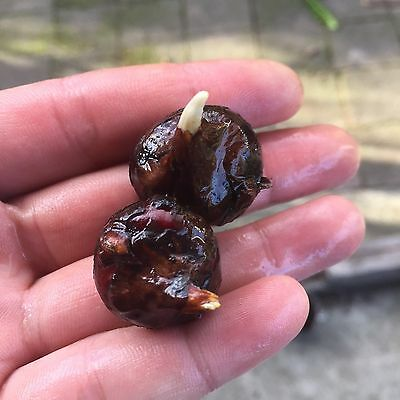 Chinese Water Chestnut x6 - Organic N HomeGrown