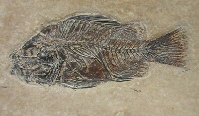 Stunning Example of Priscacara Fish (Wyoming, U.S.A.) 0215