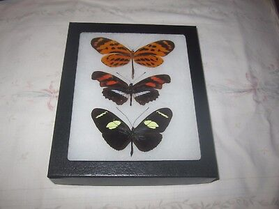 """3 real  butterflies  mounted framed 5x6"""" riker  #><12 mixed heliconius display ."""