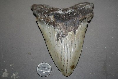 "MEGALODON Fossil Giant Sharks Teeth Ocean No Repair 5.26"" HUGE BEAUTIFUL TOOTH"