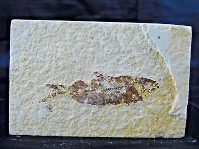 6F) Fossil Fish Display Plate Great Gift Art Decor Wyoming USA