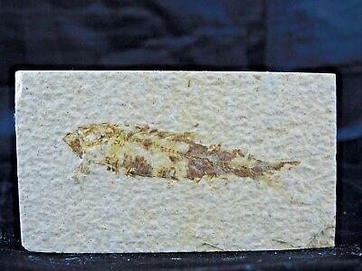7F) Fossil Fish Display Plate Great Gift Art Decor Wyoming USA