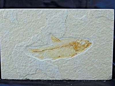 15F) Fossil Fish Display Plate Great Gift Art Decor Wyoming USA