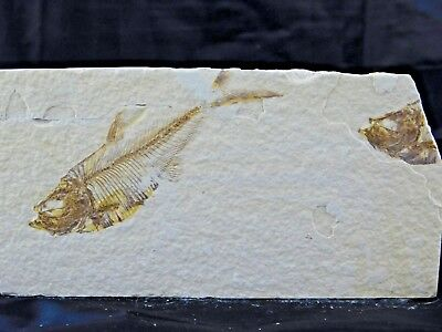 25F) Fossil Fish Display Plate Great Gift Art Decor Wyoming USA