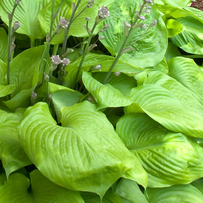 Hosta /'Sum and Substance hardy perennial plant in 17cm pot.