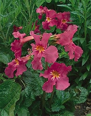 Incarvillea delavayi 'Deli Rose' / Hardy perennial / 30 seeds