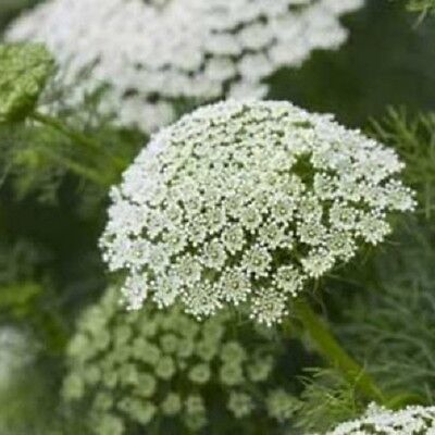 Ammi majus 'Queen of Africa' / Bishop's Flower / Hardy Annual / 500 Seeds