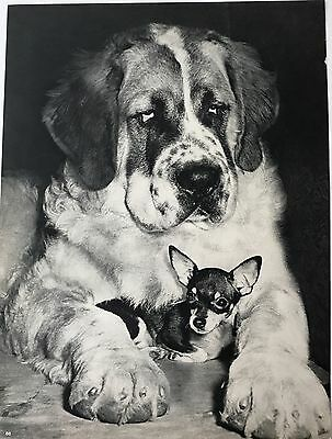 ST BERNARD DOG WITH CHIHUAHUA Original Full Page Book Print Photographed by YLLA