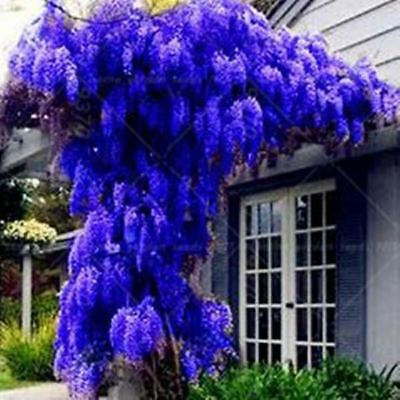 10 seeds/ pack NEW BLUE Wisteria Tree Indoor Ornamental Plants Wisteria Flower b