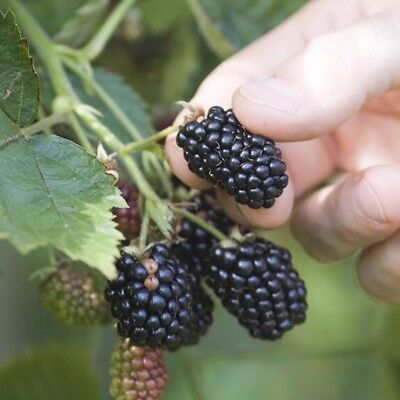 2x Thorned Blackberry Plants Organic Bare Root Sweet Juicy Fruitful Hardy Plant