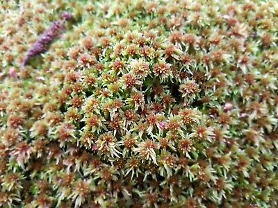 Red Sphagnum moss 100g - live and freshly harvested from sustainable sources