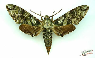 Manduca corallina SET x1 real hawk-moth Guatemala taxidermy insect bug scarce
