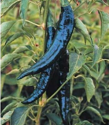 200 pcs Rare Heirloom Pasilla Bajio Chili Pepper Seeds vegetable seed