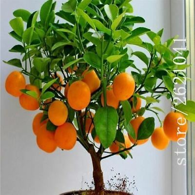 Fruit Orange Tree Seeds DWARF WASHINGTON NAVEL Grow Indoors in bonsai or Outdoor