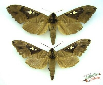 hawk-moth Lophostethus dumolinii SET x1 PAIR TOGO moth entomology real insect