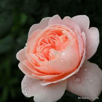 'Queen of Sweden' David Austin English shrub rose, Bare root, apricot pink