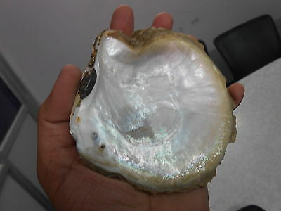 Amazing 100 Mm X 100 Mm 560 Ct 100% Natural Huge Abalone White Rainbow Sea Shell