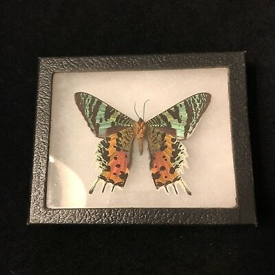 Real Framed Butterfly Moth in Riker box MADAGASCAR SUNSET CHRYSIRIDIA RHIPHEUS