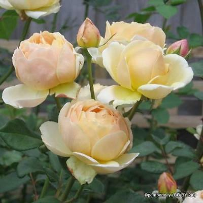 Rose 'Wollerton Old Hall' David Austin climbing rose. Bare root scented, apricot