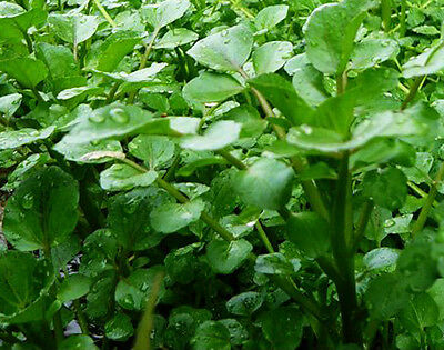6 x Watercress Stems Pond Marginal Water Cress Plants Nitrate removal * 2 for 3