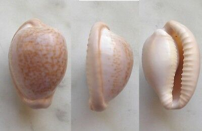 seashell  cypraea fuscorubra selected