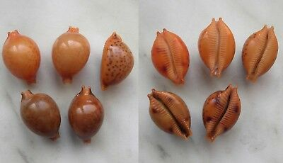seashell  cypraea globulus sphaeridium selected set 5