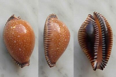 seashell  cypraea guttata surinensis selected